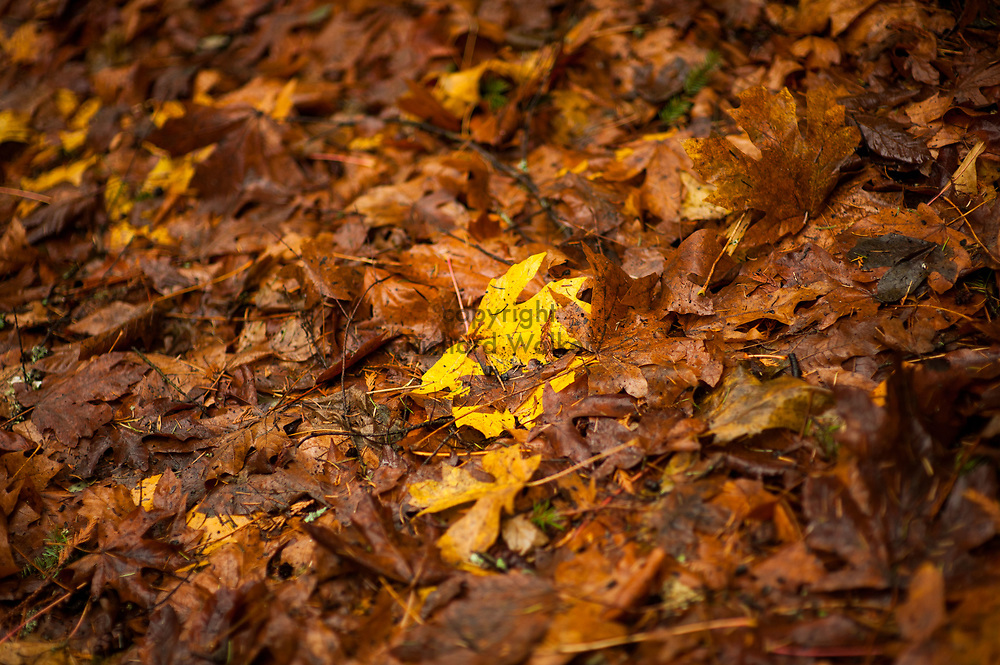 2017 NOVEMBER 20 - Autumn leaves in rain at Lincoln Park in West Seattle, WA, USA. By Richard Walker