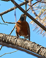 American Robin (Turdus migratorius). Image taken with a Nikon D2xs camera and 80-400 mm VR lens.