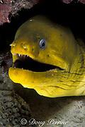 green moray eel,<br /> Gymnothorax funebris, <br /> Grand Cayman Island<br /> Cayman Islands ( Caribbean Sea )