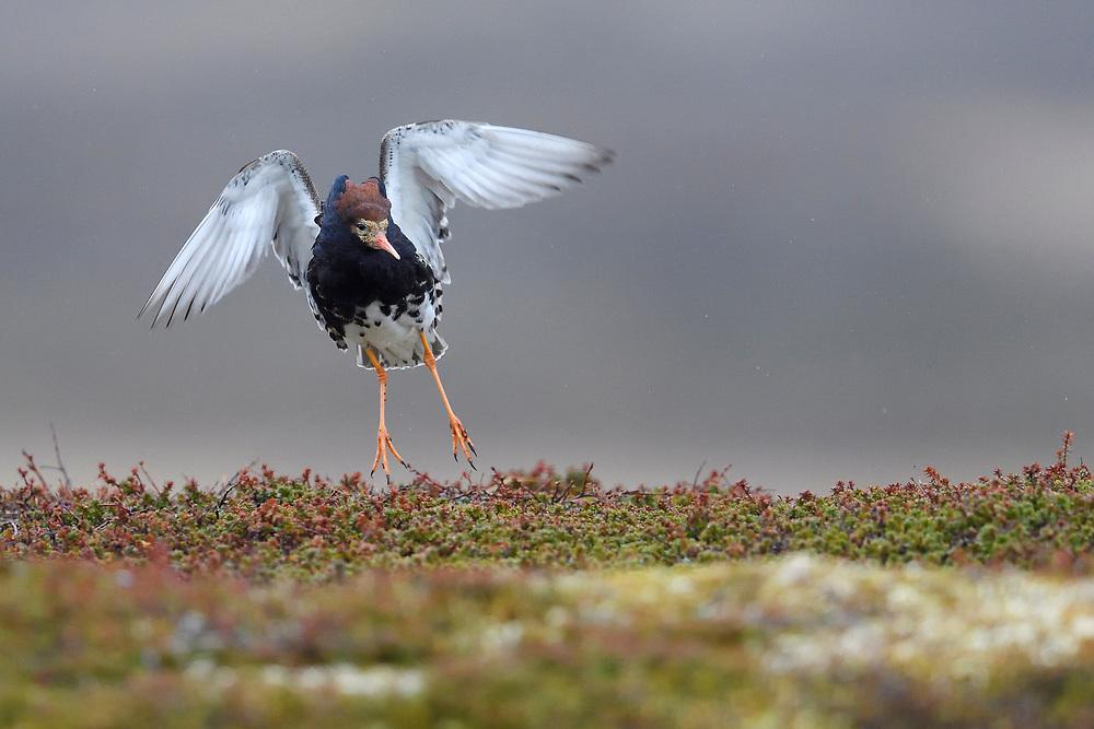 Ruff male displaying, Philomachus or Calidris pugnax, Varanger peninsula, Arctic Norway