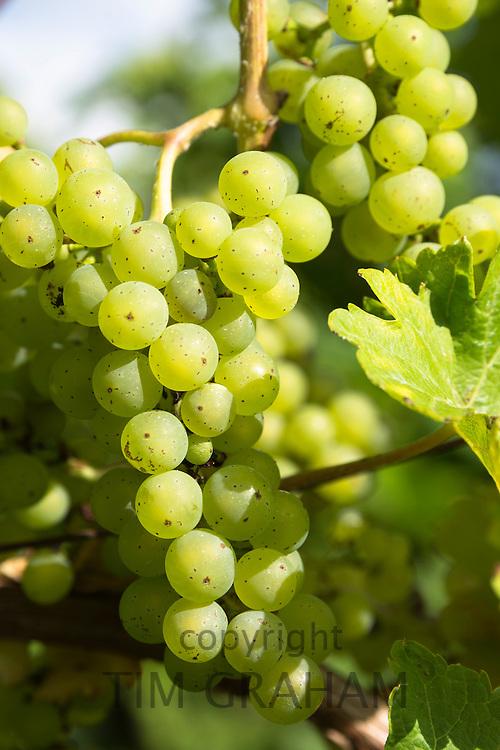 Johanniter green grapes on vines for white wine at English Sedlescombe Organic Vineyard in Kent, UK