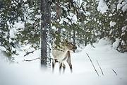 Snowing | Reindeer, Saariselkä, Finland