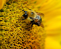 Bumble Bee on a Sunflower. Image taken with a Fuji X-H1 camera and 80 mm f/2.8 macro lens