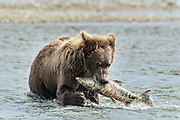 A brown bear sub-adult catches a salmon in the lower lagoon at the McNeil River State Game Sanctuary on the Kenai Peninsula, Alaska. The remote site is accessed only with a special permit and is the world's largest seasonal population of brown bears in their natural environment.