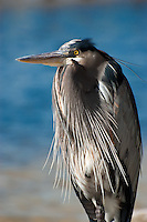 A blue heron huddles for warmth on a cold winter day by the Grand Lagoon in Panama City, Florida.
