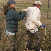 Laura Phillips attaches a noose carpet trap on to Denver Holt to catch a Snowy Owl.