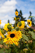 Naomi's Organic Farm Supply is a family-owned shop with a wide range of organic products including: soil amendments and fertilizer, seeds, straw, hay, compost, potting soils, livestock feeds, salts, supplements, chicken supplies, pet foods, hand tools & lots of books.  Sunflowers on the property.