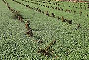 Valley farmland with grapevines Lliber, Marina Alta, Alicante province, Spain