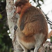 Proboscis monkey (Nasalis larvatus) adult sitting in tree during a pouring rain, Sekonyer river, Tanjung Puting National Park. Borneo