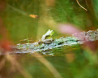 Kermit the Bulfrog. Image taken with a Leica SL2 camera and Sigma 100-400 mm lens