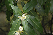 Evergreen, ornamental shrub or small tree; native to Yunnan Province, China. Leaves re dark green and toothed. Flowers are white and fragrant.