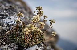 THEMENBILD - Bergblumen. Die Grossglockner Hochalpenstrasse verbindet die beiden Bundeslaender Salzburg und Kaernten mit einer Laenge von 48 Kilometer und ist als Erlebnisstrasse vorrangig von touristischer Bedeutung, aufgenommen am 06. August 2018 in Fusch an der Glocknerstrasse, Österreich // mountain flowers. The Grossglockner High Alpine Road connects the two provinces of Salzburg and Carinthia with a length of 48 km and is as an adventure road priority of tourist interest, Fusch an der Glocknerstrasse, Austria on 2018/08/06. EXPA Pictures © 2018, PhotoCredit: EXPA/ JFK