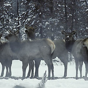 Elk (Cervus canadensis) cows gather near a thermal area for warmth during the winter in Yellowstone National Park, Wyoming.