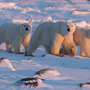 Polar bear (Ursus maritimus) mother and two cubs walking on the snow pack during sunset. Manitoba, Canada