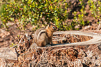 A Cascade golden-mantled ground squirrel tests my patience as I try to get a clear shot of this small and wily rodent on the Eastern side of Washington's Cascade Mountains near Lake Wenatchee.