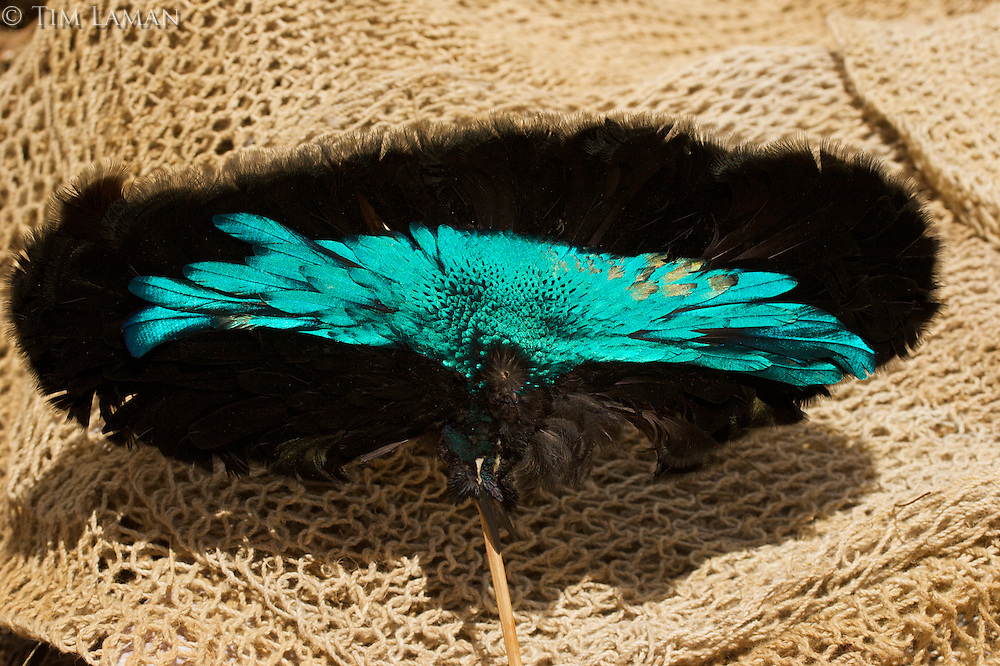 Detail of Superb Bird of Paradise prepared for a headdress..Mount Hagen, Western Highlands Province, Papua New Guinea.