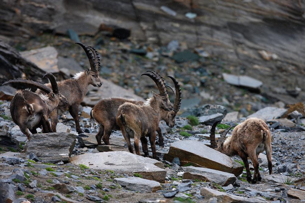 Group of Alpine Ibex (Capra Ibex) in the snow. Hohe Tauern National Park, Carinthia, Austria