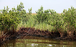 26 May 2010. Barataria Bay to Grand Isle, Jefferson/Lafourche Parish, Louisiana. <br /> The marsh land near Grand Isle is soaked with oil, the filthy tide mark clearly visible. The fragile grass lands perched at the mouth of mississippi delta is all that separates land from the Gulf of Mexico. The region is strategically vital to the American oil and gas industry and a major player in America's seafood industry. BP's catastrophic oil spill continues to spew a black tide of death which continues to encroach upon everything in the region. The economic impact is devastating with shrimp boats tied up, vacation rentals and charter boat fishing trips are cancelled. The only real business is cleaning up big oil's disasterous screw up. Oil from the Deepwater Horizon catastrophe is evading booms laid out to stop it thanks in part to the dispersants which means the oil travels at every depth of the Gulf and washes ashore wherever the current carries it. <br /> Photo credit; Charlie Varley<br /> www.varleypix.com