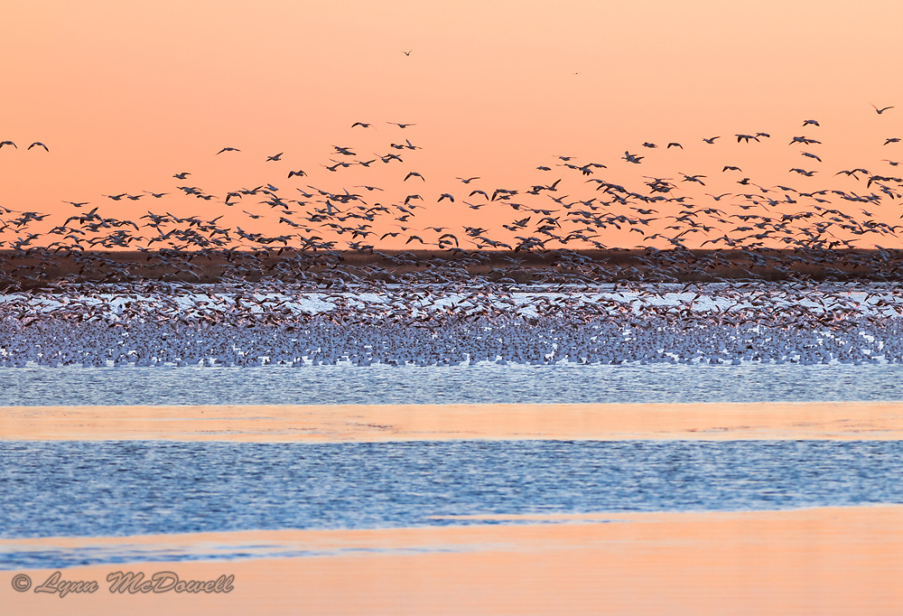 As the Snow Geese took off from their night roost on the water, they flew into these beautiful bands of morning color.  Bombay Hook NWR