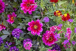 Dahlia 'Dahlia Dreamy Nights (Dreamy Series) with Verbena 'Showboat Dark Violet', Tagetes linnaeus, Persicaria orientalis and Verbena rigida