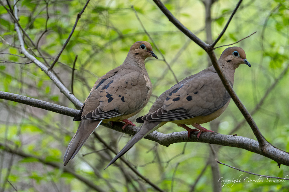 A pair of mourning doves in the Ramble of Central Park, April 29, 2021.