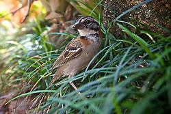 O tico-tico (Zonotrichia capensis) é uma ave da ordem Passeriformes, família Emberizidae. Ocorre em todo o Brasil, exceto na Floresta Amazônica, e tem aproximadamente 13,5 cm. Costuma habitar campos de cultura e perto de habitações, põe de 3 a 5 ovos e a incubação leva aproximadamente 13 dias. Macho e fêmea são muito parecidos, mas o canto do macho é mais alto e mais prolongado. FOTO: Jefferson Bernardes/Preview.com