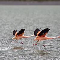 This two flamingos were escaping from dangerous tourists. The other shy pink birds flew away as they noticed our presence some 50 meters away from their sanctuary.