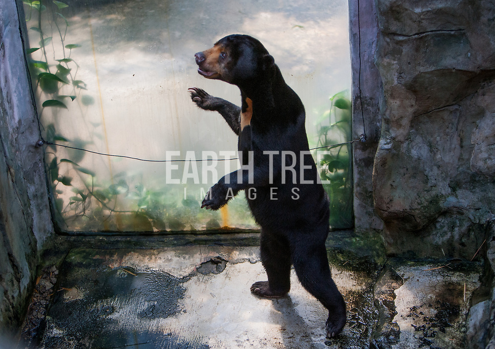A sun bears walks its enclosure day in out, at a rooftop zoo, Bangkok, Thailand. Photo: Paul Hilton / Earth Tree Images