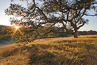 Close-up of a Coast oak tree, Carmel Valley, CA.