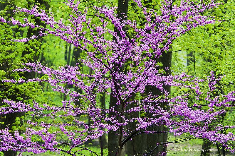Redbud trees in full spring bloom near Defiance Ohio