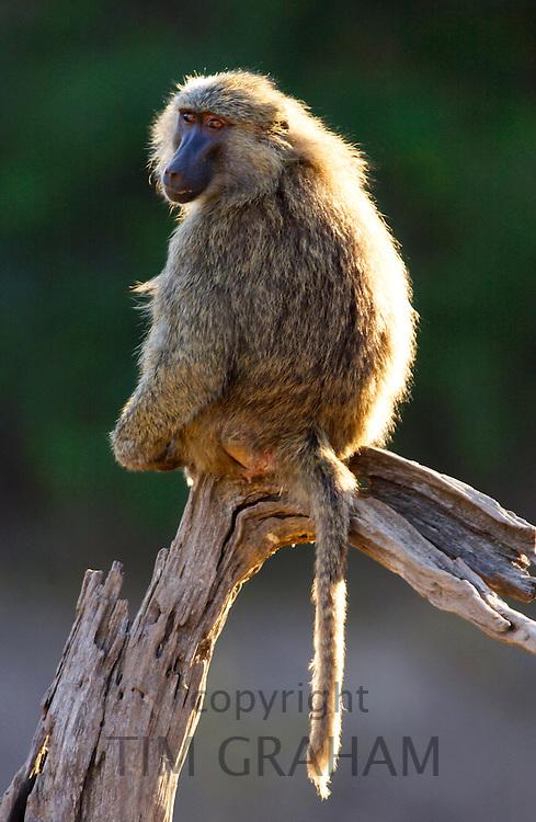 An Olive baboon sitting on a branch. Grumeti, Tanzania
