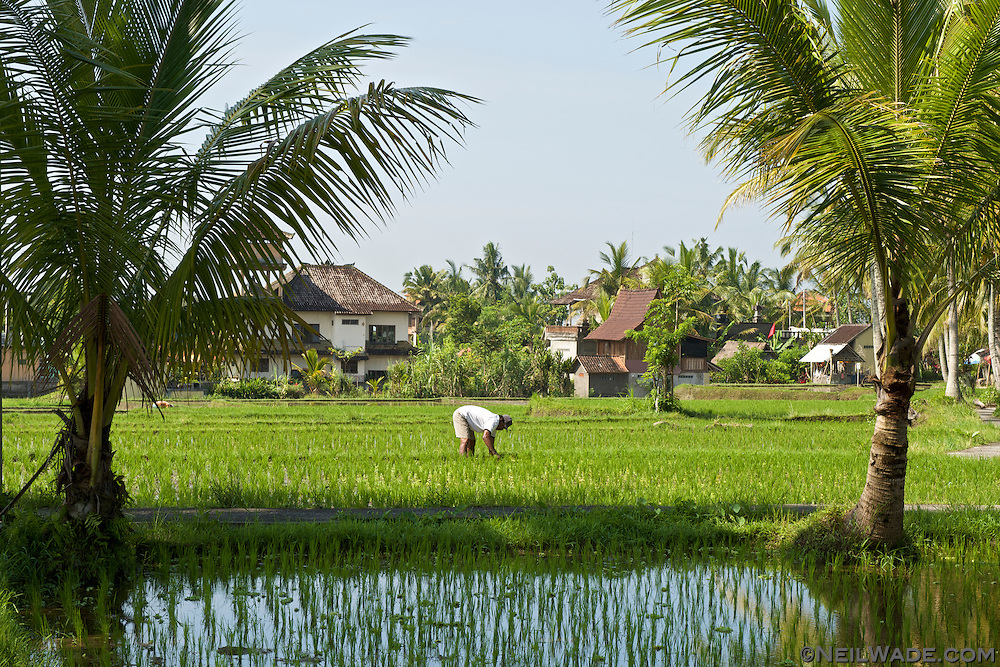 A farmer tends his rice fields in Ubud, Bali, Indonesia.