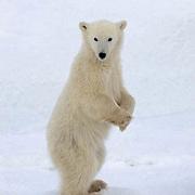 Polar Bear, (Ursus maritimus) Portrait of cub. Churchill, Manitoba. Canada.