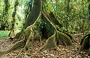 Buttress Roots of Rainforest Kaway Tree, Pterocarpus officinalis, in area of seasonally flooded forest, Cockscomb Basin Wildlife Santuary