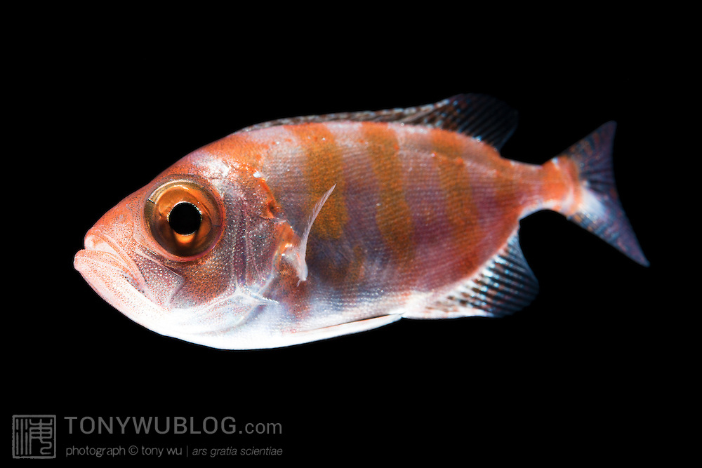 Juvenile crescent-tail bigeye (Priacanthus hamrur) measuring approximately five centimeters. Photographed at night over deep water (greater than 1000m depth) in Palau.