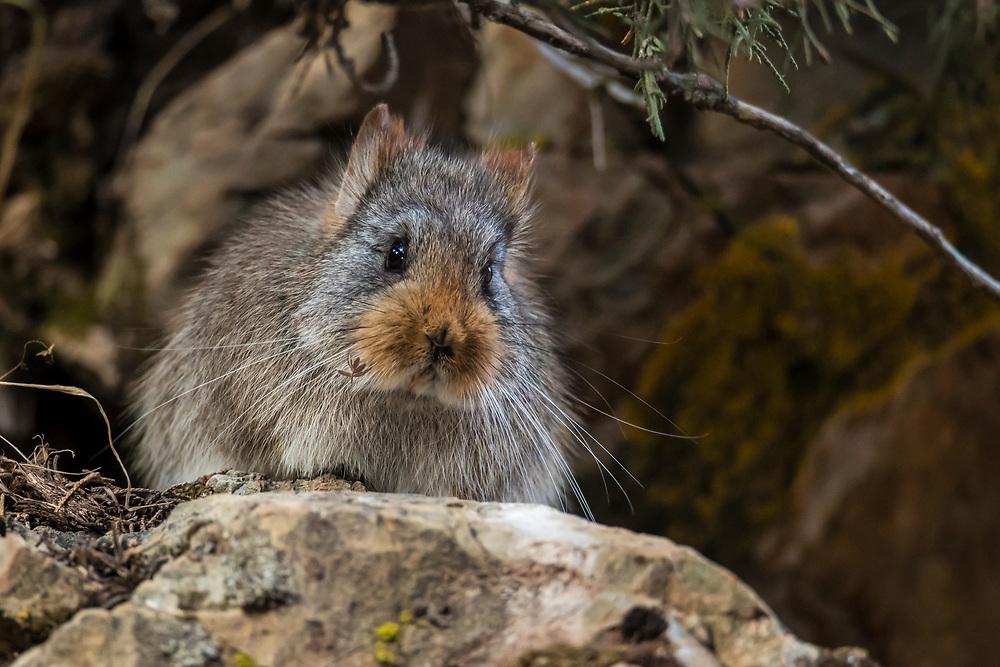 Large-Eared Pika, Ochotona macrotis, Da'er Shutu, 大耳鼠兔<br />China, Sichuan Province, Garze Prefecture, Serxu County.