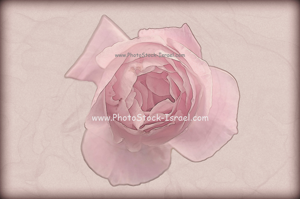 Digitally manipulated Pink English rose as seen from above