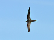 Swift (Apus apus) in Flight. L 16-17cm. Invariably seen in flight: has anchor-shaped outline and mainly dark plumage. Catches insects on the wing. Sexes are similar. Adult has mainly blackish brown plumage with pale throat. Tail is forked but often held closed in active flight. Juvenile is overall darker but throat and forehead are paler. Voice Loud screaming calls uttered in flight. Status Locally common summer visitor. Nests in churches and loft spaces. Feeding birds gather where insects are numerous. Observation tips Easy to see in late spring in villages and towns. Most adults leave Britain in August.