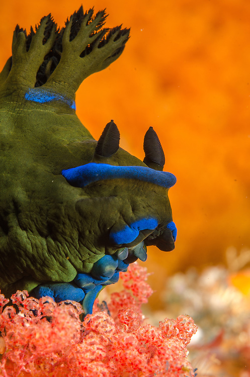 Nudibranch, Tambja morosa