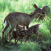 Whitetail Deer, (Odocoileus virginianus) Twin spring fawns nursing from doe near stream.