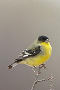 Male lesser golldfinch in winter plumage