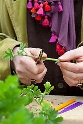 Taking pelargonium cuttings. Trimming to correct length