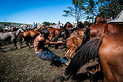 """Since ancient times, already documented by the historian and geographer Strabon 2000 years ago, in the beginning of the summer, in the mountains of Galicia, Spain, locals collect and tame wild horses.<br />The ritual consist of with screaming and waving forcing the small Galician horse to descend to the valley from the mountains that they walk free all the year. Then, these horses, in a small round curro (enclosed which retain the horses) are branded and the horsehairs are cut- rapa in Galician.<br />After a chase and fight inside the """"curro"""", the """"agarradores"""" control the beast making it possible to cut the hairs. <br />Some of the horses are sold for the meat market and the rest is released to the wild, where the contact with humans is just going to happen in the following year.<br />The most famous Rapa das Bestas is the one from Sabucedo, where around 700 horses are rounded in the curro and the festivities last for three days with thousands of visitors.<br />This picture story is photographed in Sabucedo, Amil and in Canizadas."""
