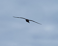Brown Skua soaring above the MS Fram. Image taken with a Fuji X-T1 camera and 60 mm f/2.8 macro lens (ISO 200, 60 mm, f/11, 1/500 sec).