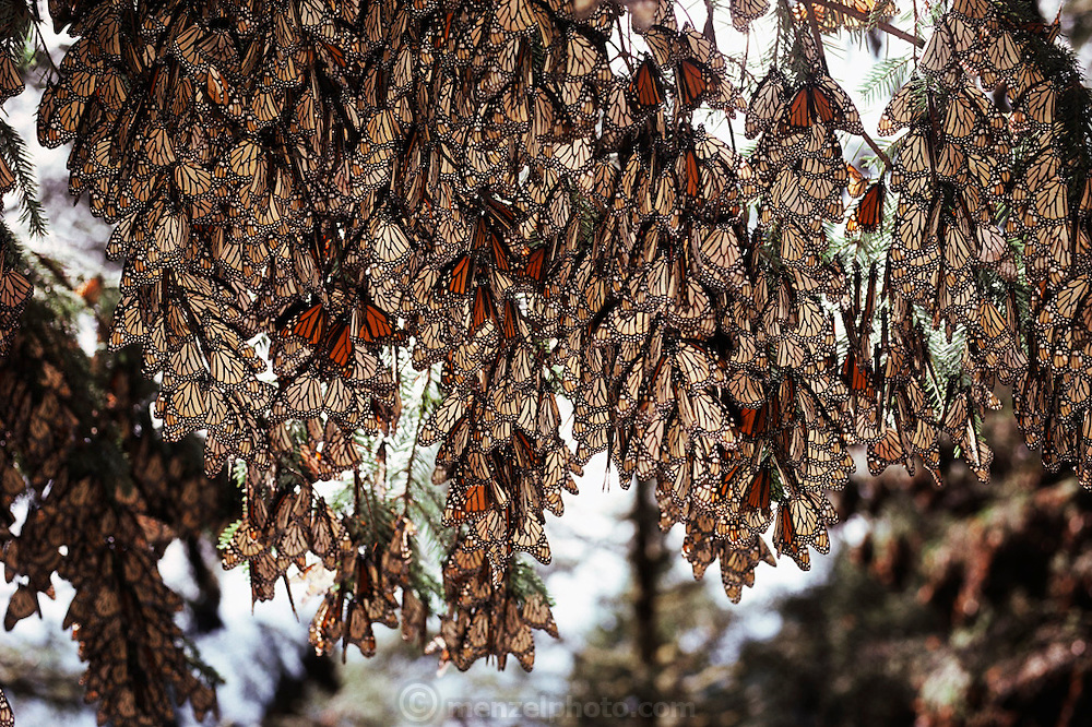 Monarch butterflies clustered on the branches of a tree at Site Alpha, near Rosario, Mexico.