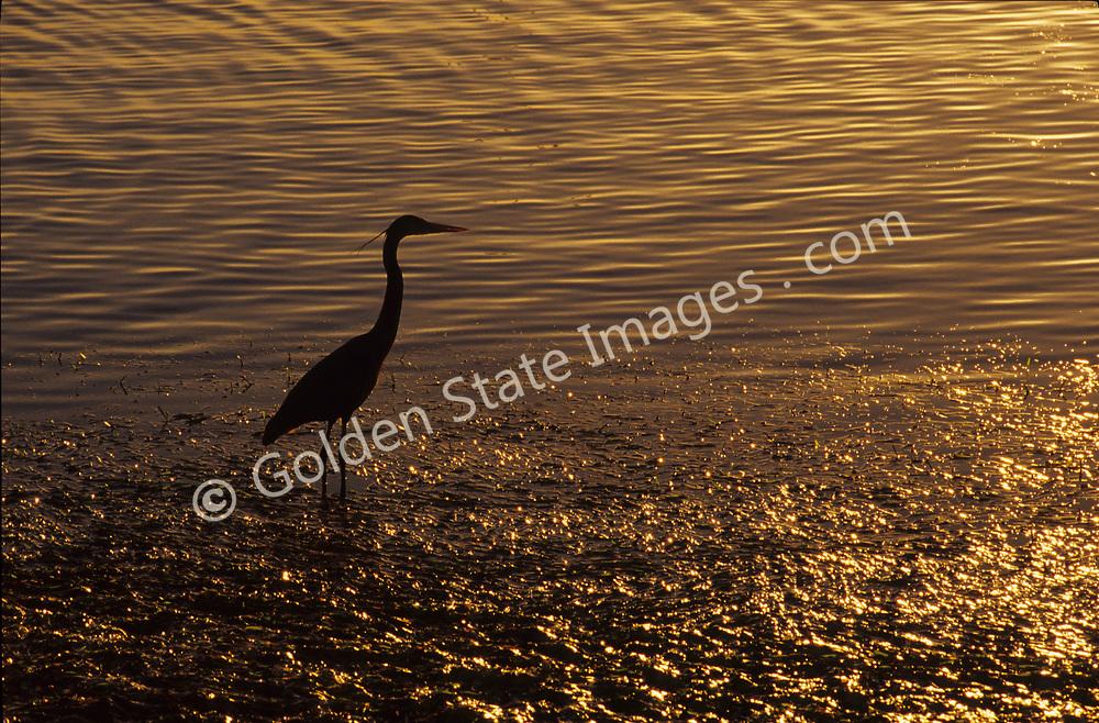 Taken along the estuary near sunset. <br /> <br /> Species: Ardea herodias