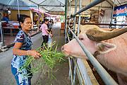 """27 NOVEMBER 2012 - BANGKOK THAILAND:  A woman makes merit by feeding an albino water buffalo at Wat Sri Boonreung on Klong Saen Saeb in Bangkok, Thailand. People """"make merit"""" by feeding the temple's cows and water buffalo.            PHOTO BY JACK KURTZ"""
