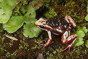 Anthony's Poison Arrow Frog (Epipedobates anthonyi) Male carrying tadpoles<br /> CAPTIVE<br /> South West ECUADOR. South America<br /> RANGE: Peru, Ecuador, <br /> Subtropical dry forest and moist lowlands, near streams<br /> 153-1,769m<br /> Epibatidine skin secretions used in medical research