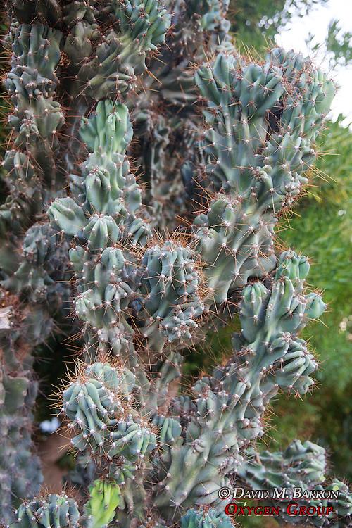 Cactus, Bellapais
