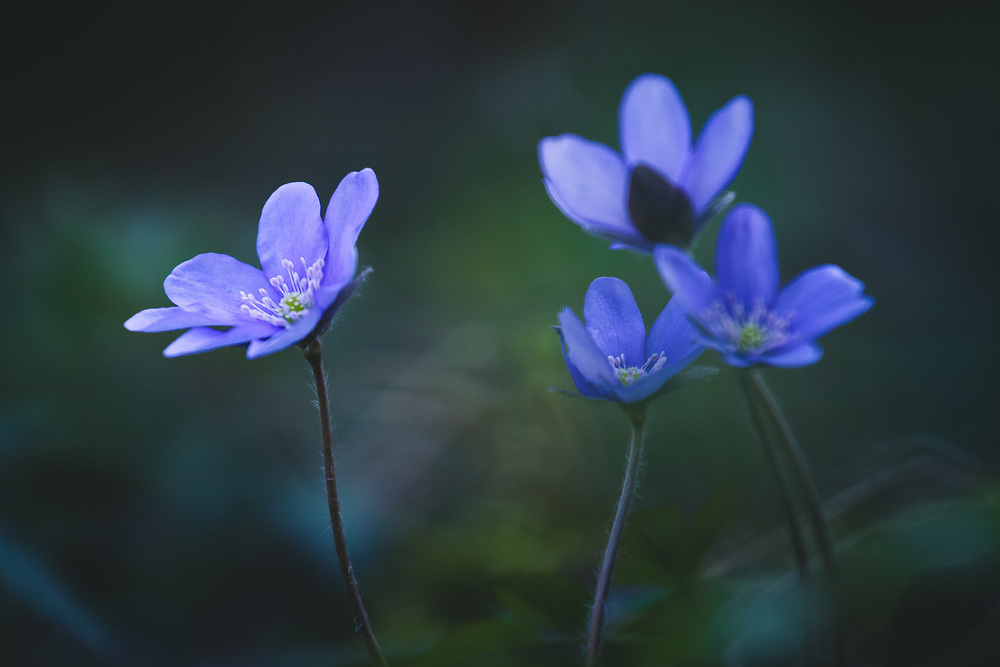"Blooming common hepatica or liverwort (Hepatica nobilis) in forest undergrowth, nature park ""Kuja"", Latvia Ⓒ Davis Ulands   davisulands.com"